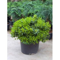 Pittosporum tobira nana Bush MAXI