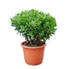 Crassula ovata Bush, květináč 35cm